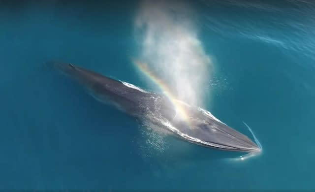 Stunning aerial footage reveals rare whale species off Southern California