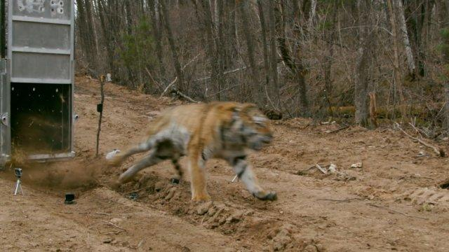 Rehabilitated Russian tiger released back into the wild