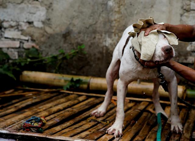 "<p>Dog breeder Agus Badud dries his dog at his house in Cibiuk village of Majalaya, West Java province, Indonesia, Sept. 27, 2017. Badud's dogs participate in fights against captured wild boars in contests, known locally as 'adu bagong' (boar fighting). ""I take part in this contest to increase the selling price and economic value of my dogs, and it would be useless for me as a breeder if I did not participate in a contest like this,"" Badud said in his house where he keeps 40 dogs. (Photo: Beawiharta/Reuters) </p>"