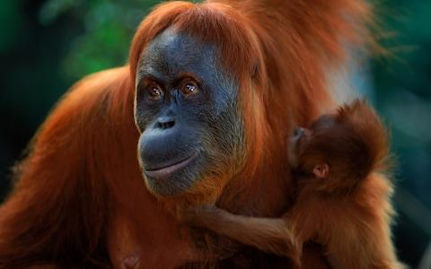 Adopt an orangutan through WWF - Credit: Anup Shah/WWF