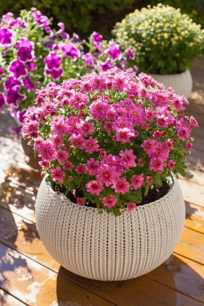 "<p>Replace faded annuals with these harbingers of fall in late summer. <a href=""https://www.countryliving.com/gardening/a19663900/chrysanthemum-flower/"" rel=""nofollow noopener"" target=""_blank"" data-ylk=""slk:Mums"" class=""link rapid-noclick-resp"">Mums</a> come in a rainbow of shades, which pair well with autumn's gourds and pumpkins for a fun seasonal display. They need full sun.</p><p><a class=""link rapid-noclick-resp"" href=""https://go.redirectingat.com?id=74968X1596630&url=https%3A%2F%2Fwww.burpee.com%2Fperennials%2Fchrysanthemums%2Fgarden-mum-mammoth-daisy-lavender-prod002461.html&sref=https%3A%2F%2Fwww.countryliving.com%2Fgardening%2Fgarden-ideas%2Fg30420939%2Fpatio-plants%2F"" rel=""nofollow noopener"" target=""_blank"" data-ylk=""slk:SHOP CHRYSANTHEMUMS"">SHOP CHRYSANTHEMUMS</a></p>"