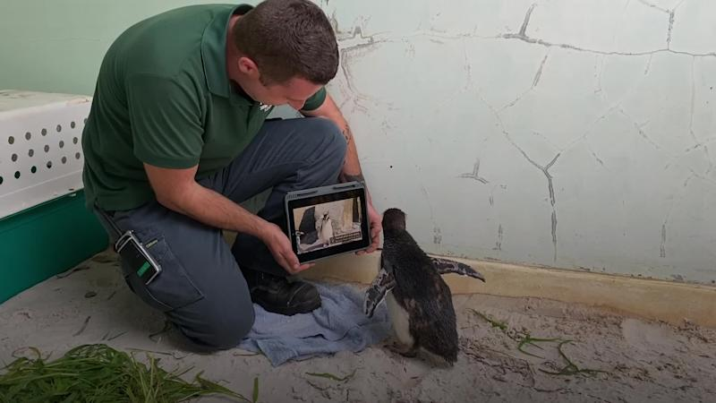 Lonely penguin watches Pingu at Perth Zoo