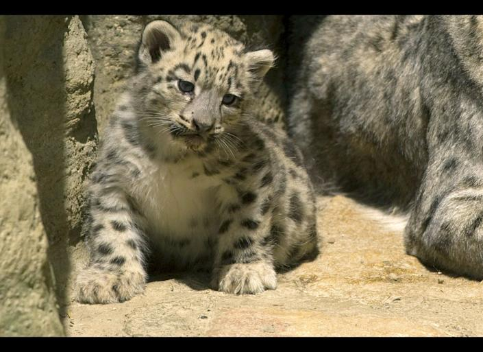 One of the three snow leopards triplets rests near its mother at Basel Zoo in northwestern Switzerland on June 15, 2011. The zoo showed off the eight-week-old cubs longside their mother, Mayhan and father, Pator. The pair were matched mid-January through a preservation program run by the European Association of Zoo and Aquaria.