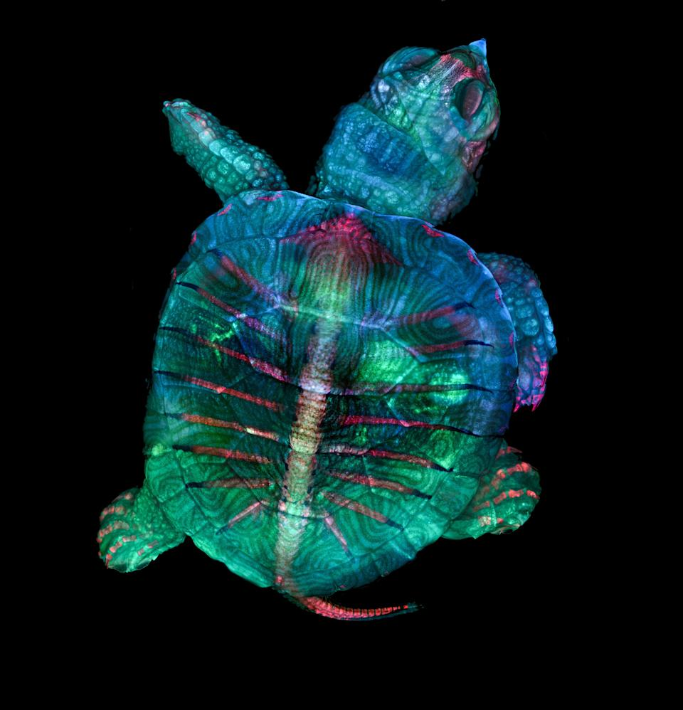 This is what a baby turtle looks like inside its egg (1st)(Picture:Teresa Zgoda)