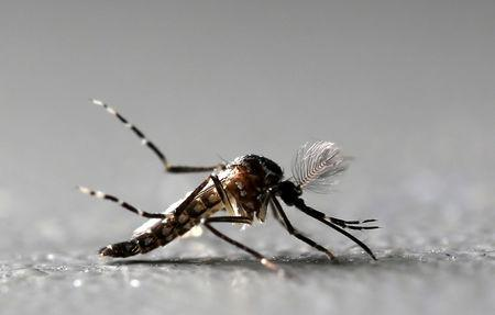 FILE PHOTO: Genetically modified male Aedes aegypti mosquitoes are pictured at Oxitec factory in Piracicaba, Brazil, October 26, 2016.  REUTERS/Paulo Whitaker/File Photo
