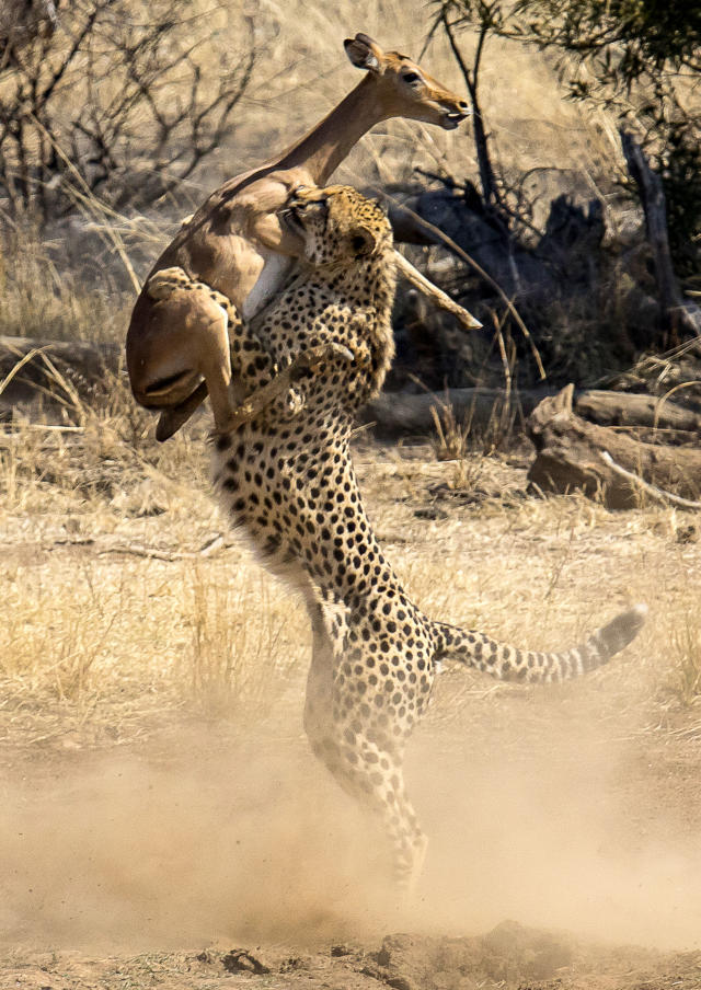 <p>A cheetah catches an impala in midair in the Pilanesberg National Park in South Africa. (Photo: Deon Hoon/Caters News) </p>