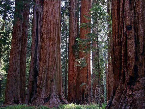 The Muir Grove of giant sequoias in Sequoia National Park.