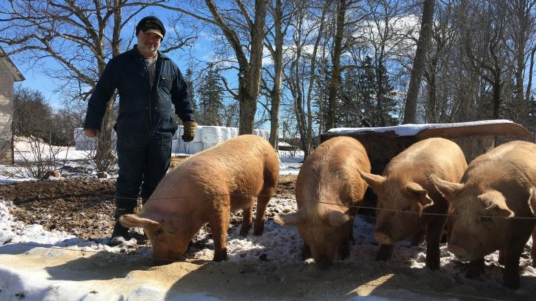 Dundas Plowing Match and Agricultural Fair mulls the future of the pig scramble