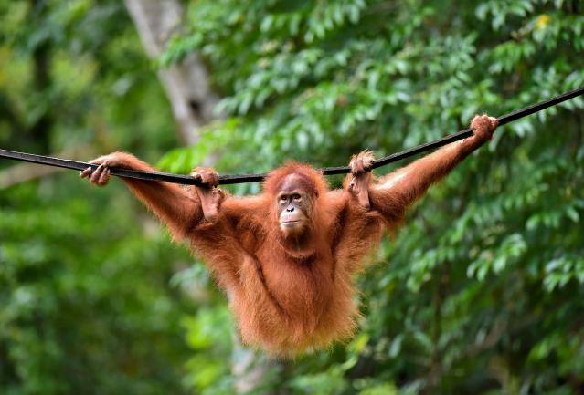 If these orangutans were to disappear, so would several tree species. Their habitat in Sumatra lost due to fire and conversion of forests to oil palm plantations.