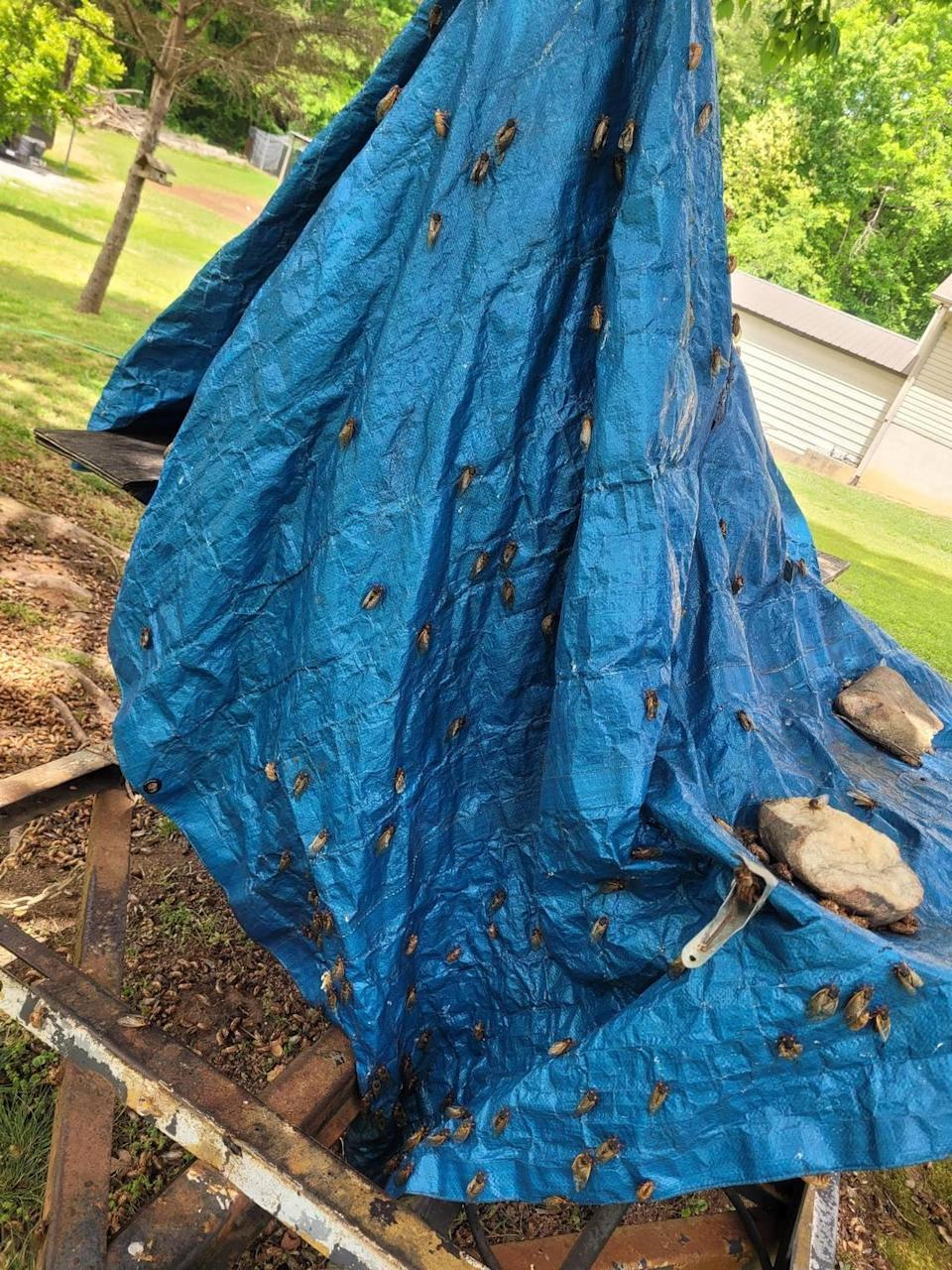 Brood X cicadas have taken over a blue tarp Donya Broda's husband uses to cover his smoker in the backyard of their Wilkesboro home.