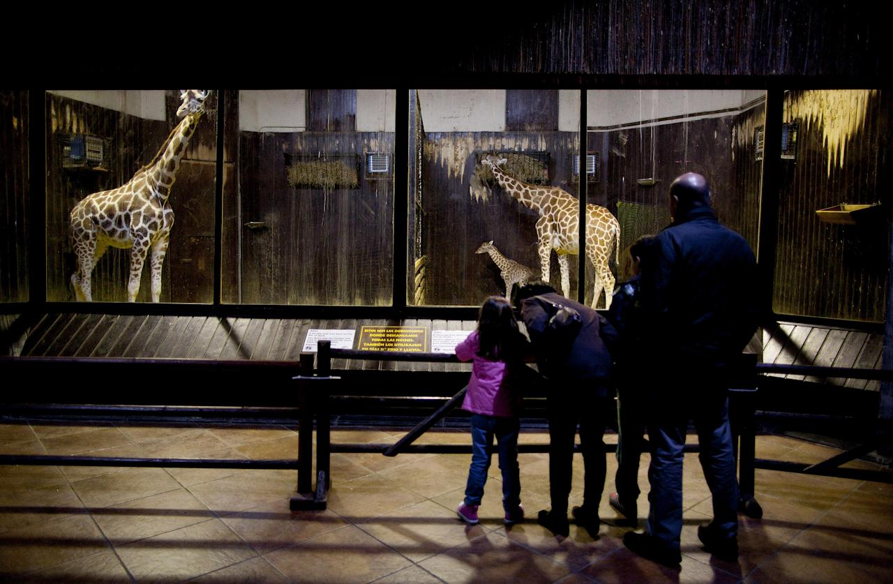 Visitors watch a three day old new born giraffe on April 11, 2012 in Madrid, Spain. Tatu, a Rothschildi Giraffe, gave birth on April 8 at the Zoo Aquarium of Madrid.  (Photo by Pablo Blazquez Dominguez/Getty Images)