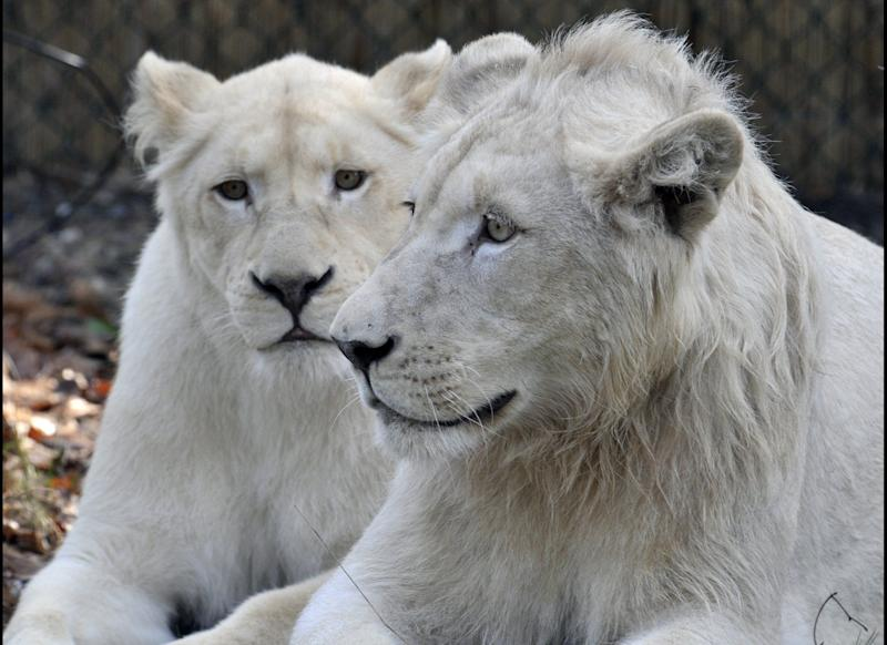 The white lions 'Snoary' (R) and 'Kotenay' lie for the first time in their 'drive through' enclosure at the Serengeti animal park in Hodenhagen, northern Germany on March 30, 2010. Three white lions arrived at the zoo mid January 2010 from South Africa. AFP PHOTO DDP/ STEFAN SIMONSEN GERMANY OUT (Photo credit should read STEFAN SIMONSEN/AFP/Getty Images)