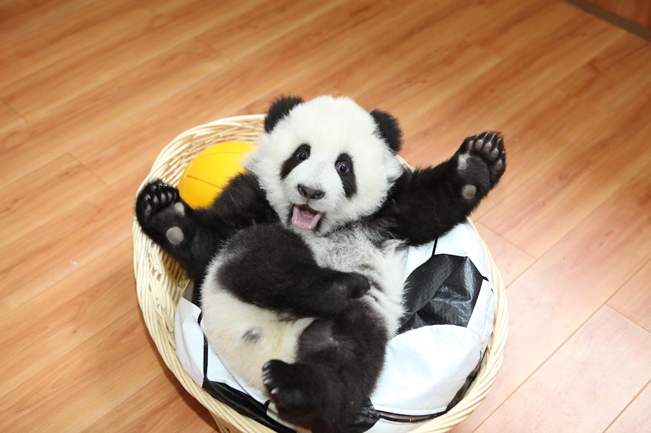 A baby Panda bear plays with a look-a-like plush toy – an early New Year's gift from keepers at the Ya'an Bifengxia Base of China Conservation and Research Centre for the Giant Panda, in Ya'an, China.