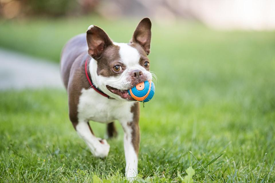 """<p>Going by the name, it's no surprise that Massachusetts designated the <a href=""""https://www.dailypaws.com/dogs-puppies/dog-breeds/boston-terrier"""" rel=""""nofollow noopener"""" target=""""_blank"""" data-ylk=""""slk:Boston Terrier"""" class=""""link rapid-noclick-resp"""">Boston Terrier</a> as their official state dog in 1979. In a bid for recognition as the """"American Gentleman,"""" this small but mighty dog has also been the school mascot of Boston University since 1922. They're friendly, alert, and always ready to play fetch or trot out for a brisk walk (at home, along the Charles River).</p>"""