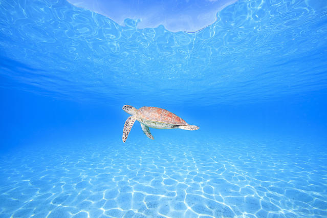<p>Sea turtle. (Photo: Ace Wu/Caters News) </p>