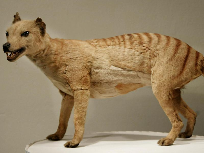 The preserved corpse of a Tasmanian tiger, which was declared extinct in 1936, at the Australian Museum: AFP/Getty Images