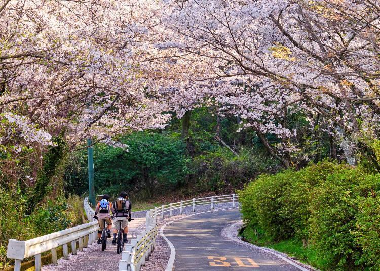 Enjoy cycling or walking beneath cherry blossoms in full bloom