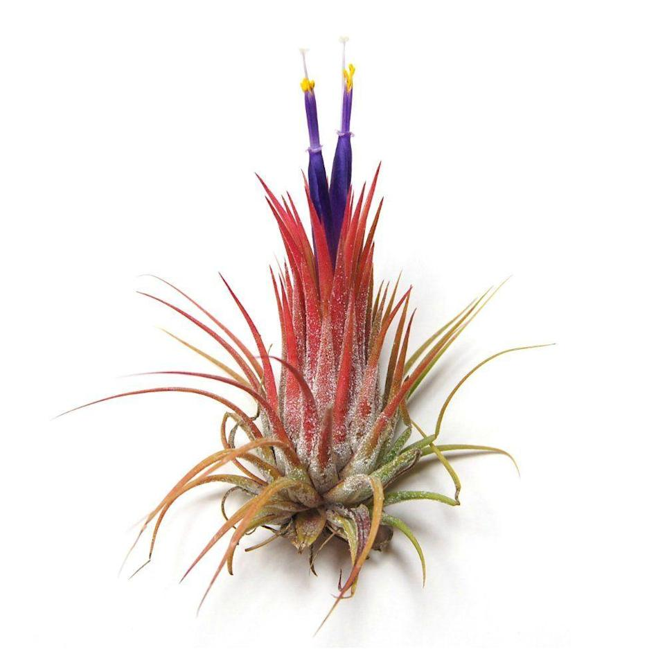 """<p><a class=""""link rapid-noclick-resp"""" href=""""https://www.amazon.com/Wholesale-Air-Plants-Tillandsia-Beautiful/dp/B00LKLPHPQ?tag=syn-yahoo-20&ascsubtag=%5Bartid%7C10052.g.3284%5Bsrc%7Cyahoo-us"""" rel=""""nofollow noopener"""" target=""""_blank"""" data-ylk=""""slk:Shop Now"""">Shop Now</a></p><p><em>$18, Amazon</em></p><p>Air plants—also known as <em>Tillandsia</em>—sustain themselves on moisture from the air and require no soil (correct, zero soil) to grow. With a minimal root system and more than 500 species to choose from, there are a wonderful variety of visually interesting options, which can be displayed in stylish air-plant holders like <a href=""""https://www.elledecor.com/design-decorate/room-ideas/g26873290/best-air-plants/"""" rel=""""nofollow noopener"""" target=""""_blank"""" data-ylk=""""slk:these"""" class=""""link rapid-noclick-resp"""">these</a>. </p>"""