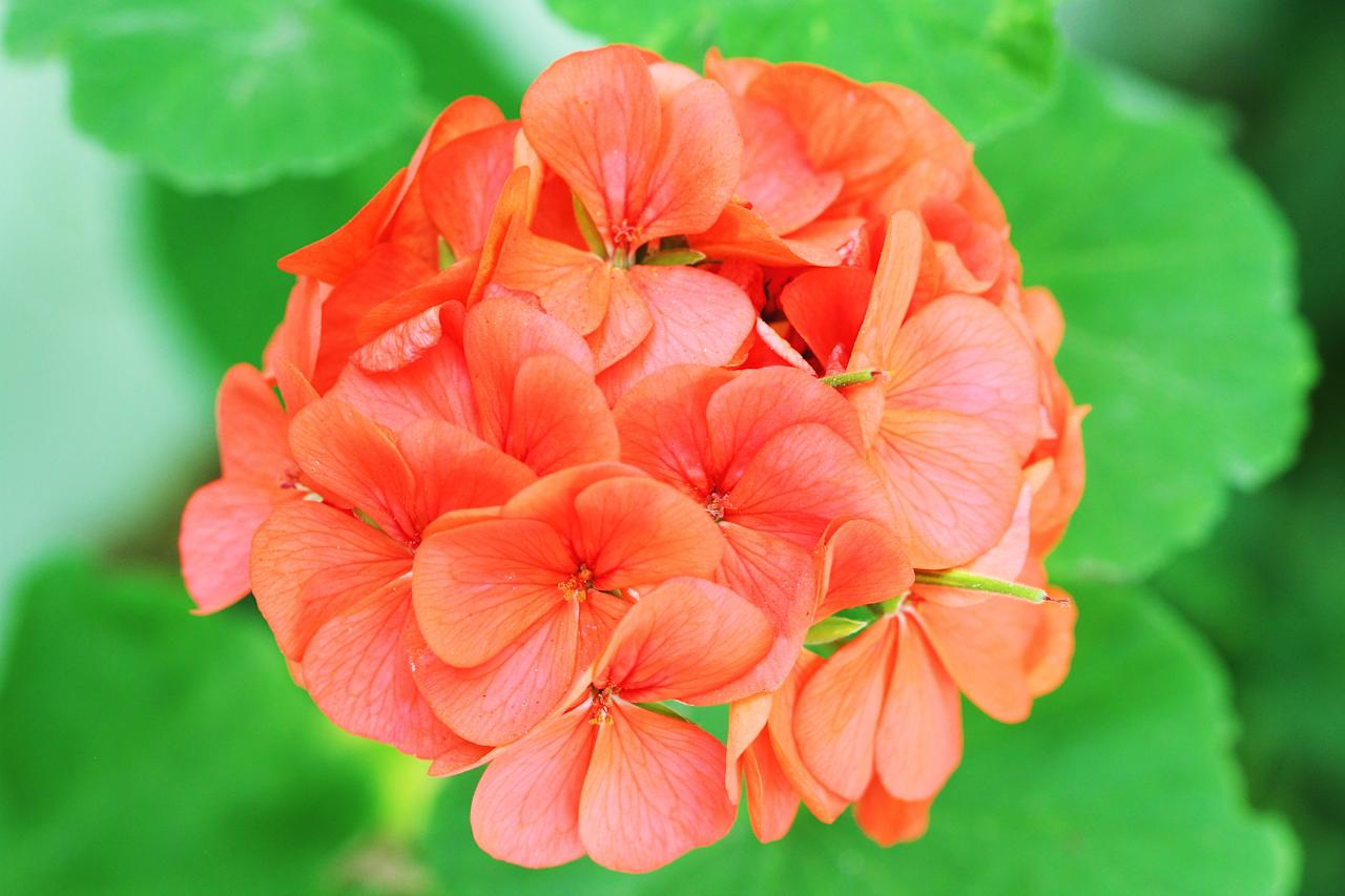 "Geraniums are tough plants, able to handle an occasional lapse in watering. And they come in so many varieties (422 species!) that there's sure to be one that works in your garden. Many are scented, and all are thought to <u><a rel=""nofollow"" href=""https://www.sunset.com/home-garden/plants/mosquito-repellant-plants"">repel mosquitoes</a></u>. Best of all, they keep their pollen to their (perfect) selves, and so are great for allergy sufferers."