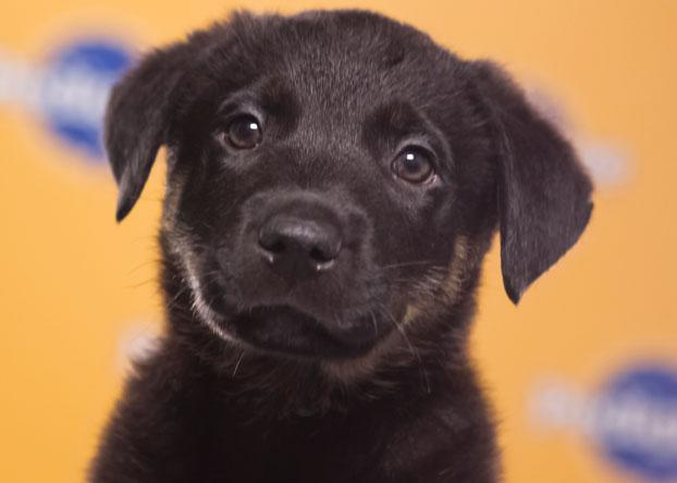 Tuck, a 10-week-old German shepherd/pit bull mix, was the only black pup in his litter of six. (Photo by Keith Barraclough/DCL)