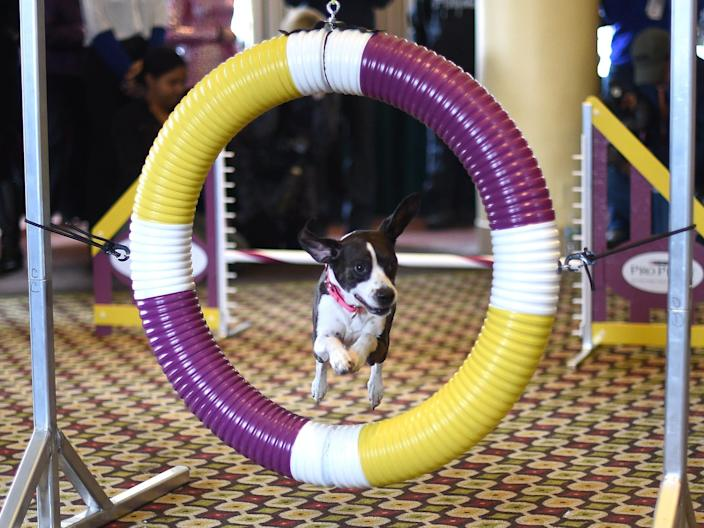 Hailey was the All American dog winner in the 2016 Agility Championship.