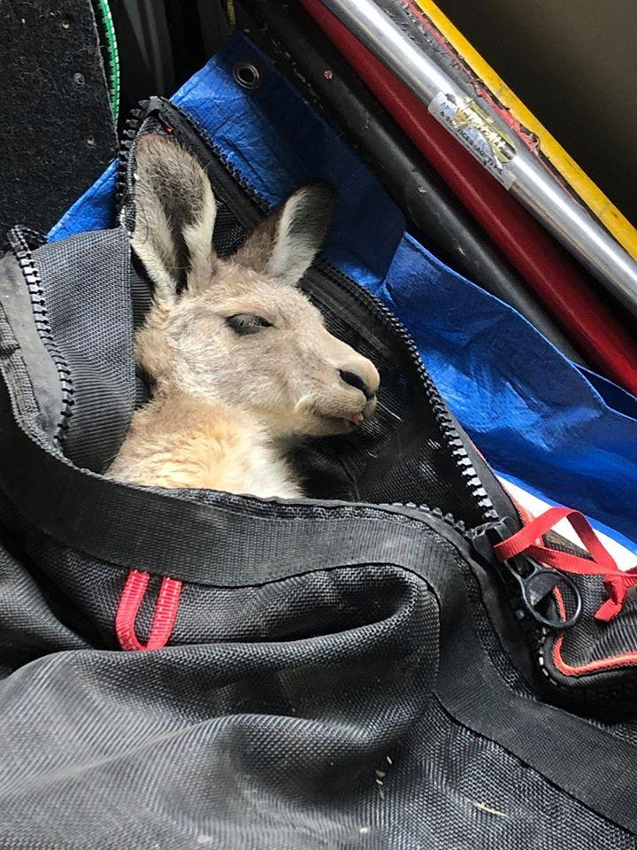 The rescued kangaroo being transported to the shelter while sedated.