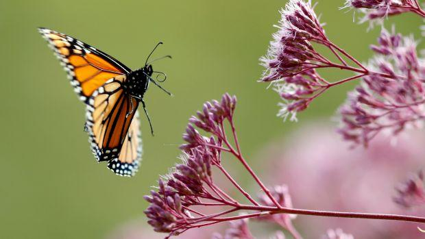 monarch butterfly and flowers