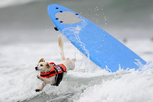 Cody, a one-year-old Cockaweenie, bails during the surfing competition of the Purina Incredible Dog Challenge in San Diego, California, in this Purina handout taken June 8, 2012. This canine sporting event features a variety of events including dog surfing, dog diving, freestyle flying disc, head-to-head weave poles, Jack Russell hurdle racing and agility.    REUTERS/Gus Ruelas/Purina/Handout