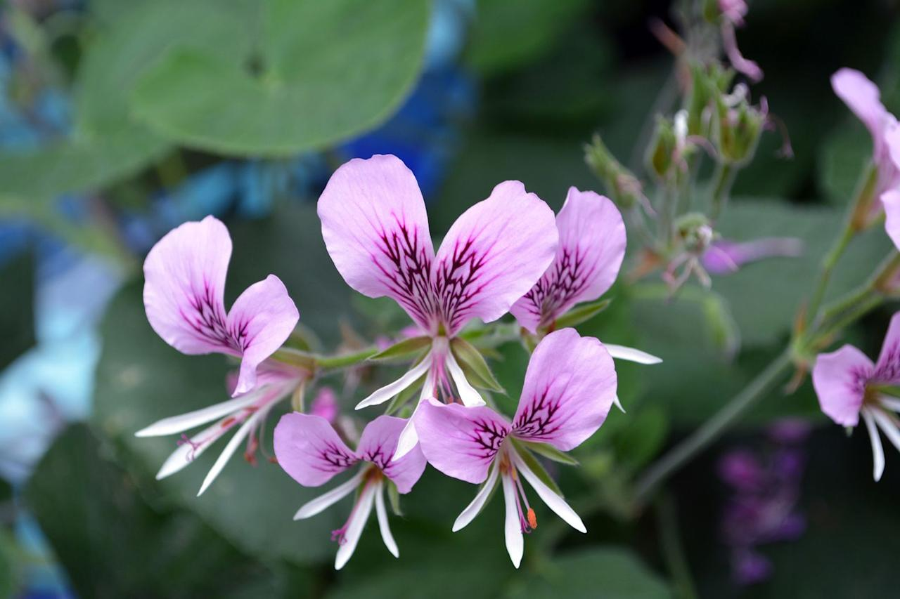 """<p>These purple and pink plants can be chosen in unique scents, including apple, lemon and strawberry, adding a natural fragrance to any home. Wonderfully, too, they don't take much looking after and only need to be watered once every four weeks.</p><p><a class=""""body-btn-link"""" href=""""https://go.redirectingat.com?id=127X1599956&url=https%3A%2F%2Fwww.thompson-morgan.com%2Fp%2Fgeranium-himalayense-birch-double%2Fp84206TM&sref=https%3A%2F%2Fwww.housebeautiful.com%2Fuk%2Fgarden%2Fplants%2Fg28899283%2Fplant-alternatives-air-fresheners%2F"""" target=""""_blank"""">BUY NOW</a></p>"""