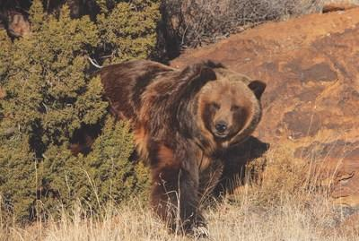 A rescued grizzly bear exploring her new habitat at The Wild Animal Refuge in Colorado.