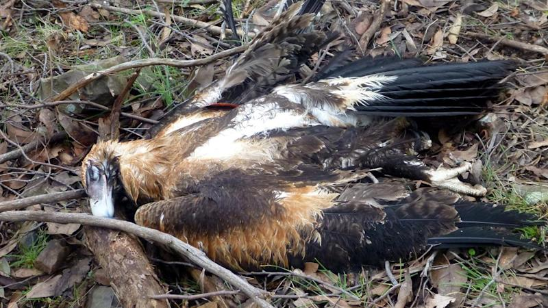 Hunt on for killer of 20 wedge-tailed eagles in Victoria