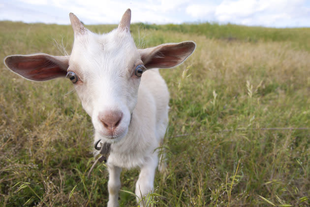 Not the goat in question (file photo via Thinkstock)
