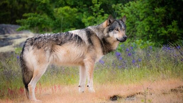 Takaya was a wolf that lived alone for years on a tiny island near Victoria and was shot and killed by a hunter in March of 2020. (Cheryl Alexander - image credit)