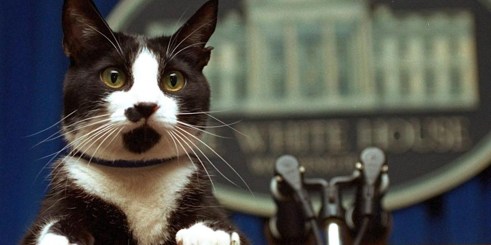 Bill Clinton's cat, Socks, at the White House podium in 1994.