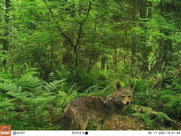 An image of a coyote in Stanley Park captured by a motion-sensor camera in June 2021. (Submitted by Kristen Walker - image credit)