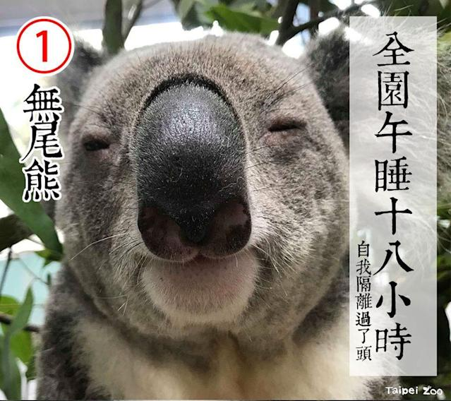 <p>No. 1 candidate is a cute and cuddly koala (FB/Taipei Zoo)</p>