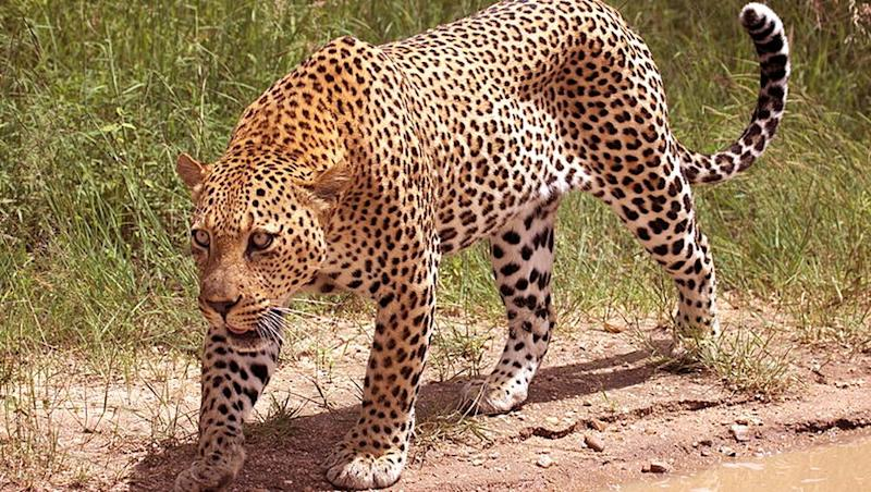 Leopard Spotted in Thane Again! Wild Cat Seen in Manpada's Butterfly Park by Morning Walkers