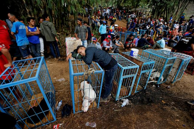 <p>A dog-handler leans on a dog cage during a fight contest between dogs and captured wild boars, known locally as 'adu bagong' (boar fighting), in Cikawao village of Majalaya, West Java province, Indonesia, Sept. 24, 2017. (Photo: Beawiharta/Reuters) </p>