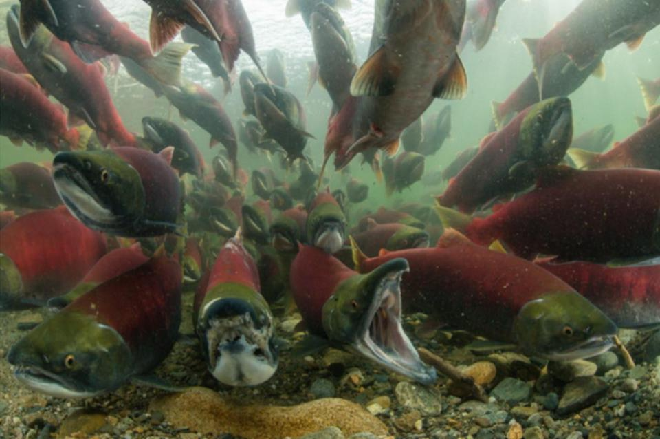 Female salmon dying more than twice as much as male salmon in B.C., study says