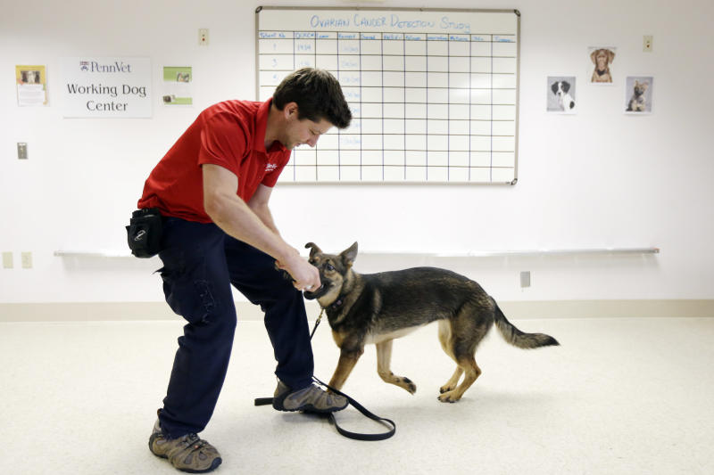 In this Thursday, Aug. 1, 2013 photo, Jonathan Ball rewards Tsunami with play in the first round of training for a study that will eventually involve detecting cancerous tissue at Penn Vet Working Dog Center in Philadelphia. (AP Photo/Matt Rourke)