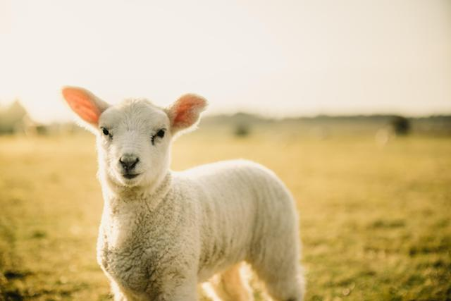 The UK has agreed a trade deal to export lamb to Saudi Arabia (Getty Images)