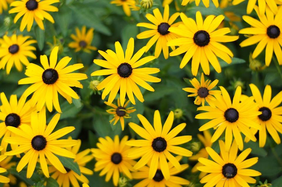 """<p><a href=""""https://statesymbolsusa.org/symbol-official-item/maryland/state-flower/black-eyed-susan"""" rel=""""nofollow noopener"""" target=""""_blank"""" data-ylk=""""slk:Marylanders"""" class=""""link rapid-noclick-resp"""">Marylanders</a> can stare into the eyes of the black-eyed susan all day. Bright, yellow petals and long, green stems. It's a thing of beauty.</p>"""