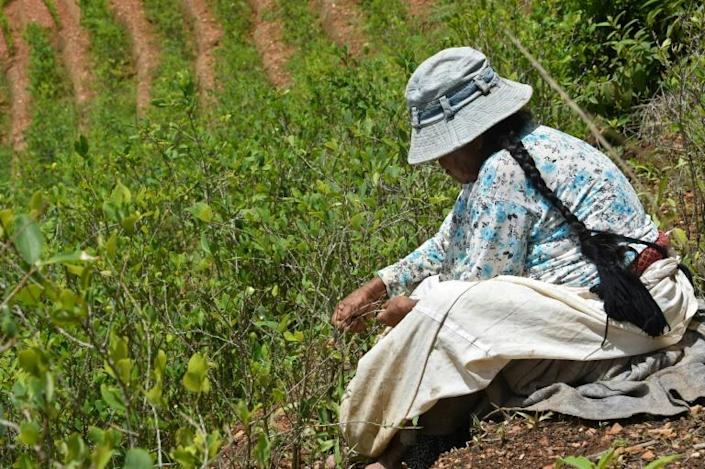 Traditional coca farmer Gladys de Quispe at work in her fields in Cruz Loma, in December 2019 (AFP Photo/AIZAR RALDES)