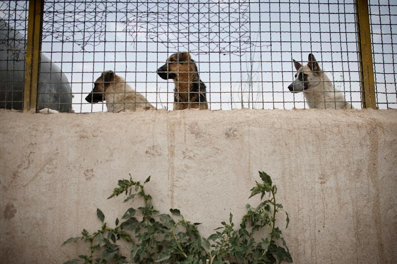 Stray dogs stand behind a fence at the Vafa animal shelter in the town of Hashtgerd, some 70 kms west of Iran's capital Tehran, on June 30, 2011 (AFP Photo/Behrouz Mehri)