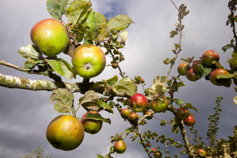 Cider brewery swamped by apples as orchard renaissance starts to bear fruit