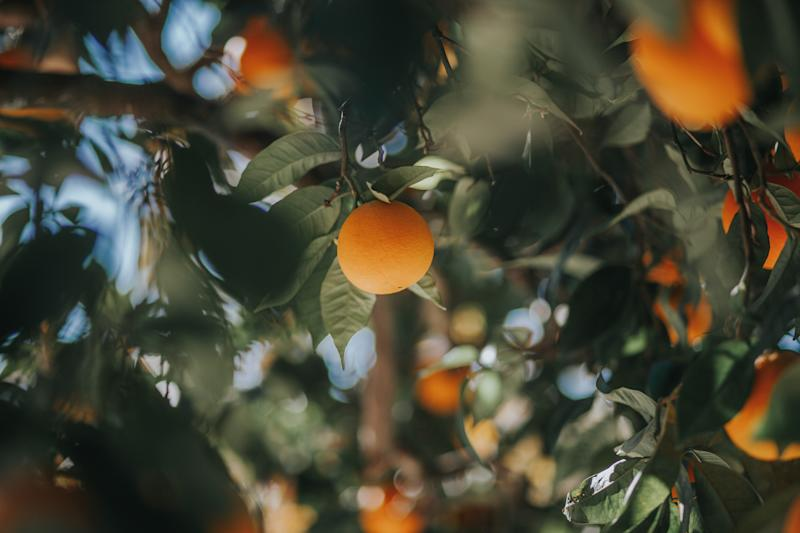 Orange tree photo taken in Portugal, Elvas. (PHOTO: Getty Images)