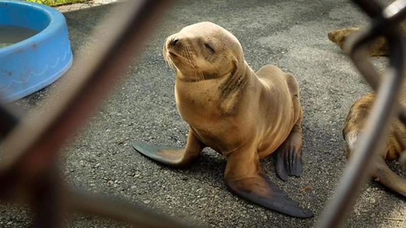 A young sea lion is recuperating Wednesday afternoon from his rather long and mysterious trek earlier in the day.