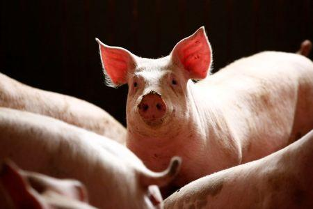 FILE PHOTO: Pigs are seen in a piggery at a village near Warsaw