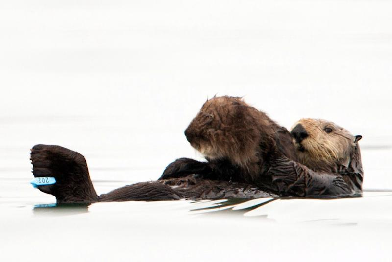 In this photo taken by the U.S. Geological Survey and provided by the California Department of Fish and Game, a sea otter holds her pup at Seacliff State Beach near Aptos, Calif., on, Sept. 10, 2012. The sea otter, known as Olive, has amazed researchers by becoming the first sea otter not only to survive a dunking in oil but then also go on to deliver a healthy pup. (AP Photo/U.S. Geological Survey, Joe Tomoleoni)