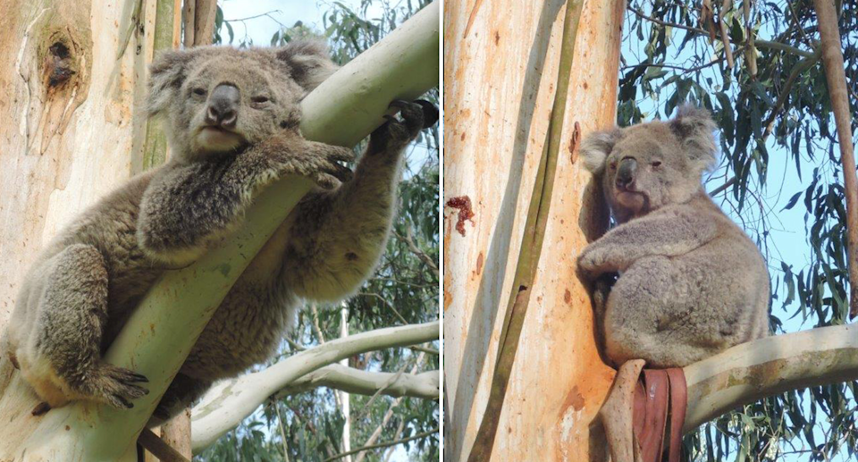 Researchers believe Strzelecki koalas need to be given better protection. Source: Suzie Zent